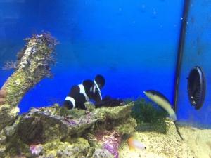 Anemonenfisch Black